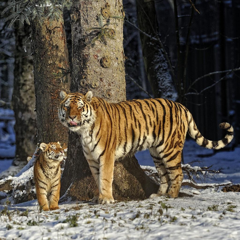 Une image contenant arbre, mammifère, extérieur, tigre  Description générée automatiquement